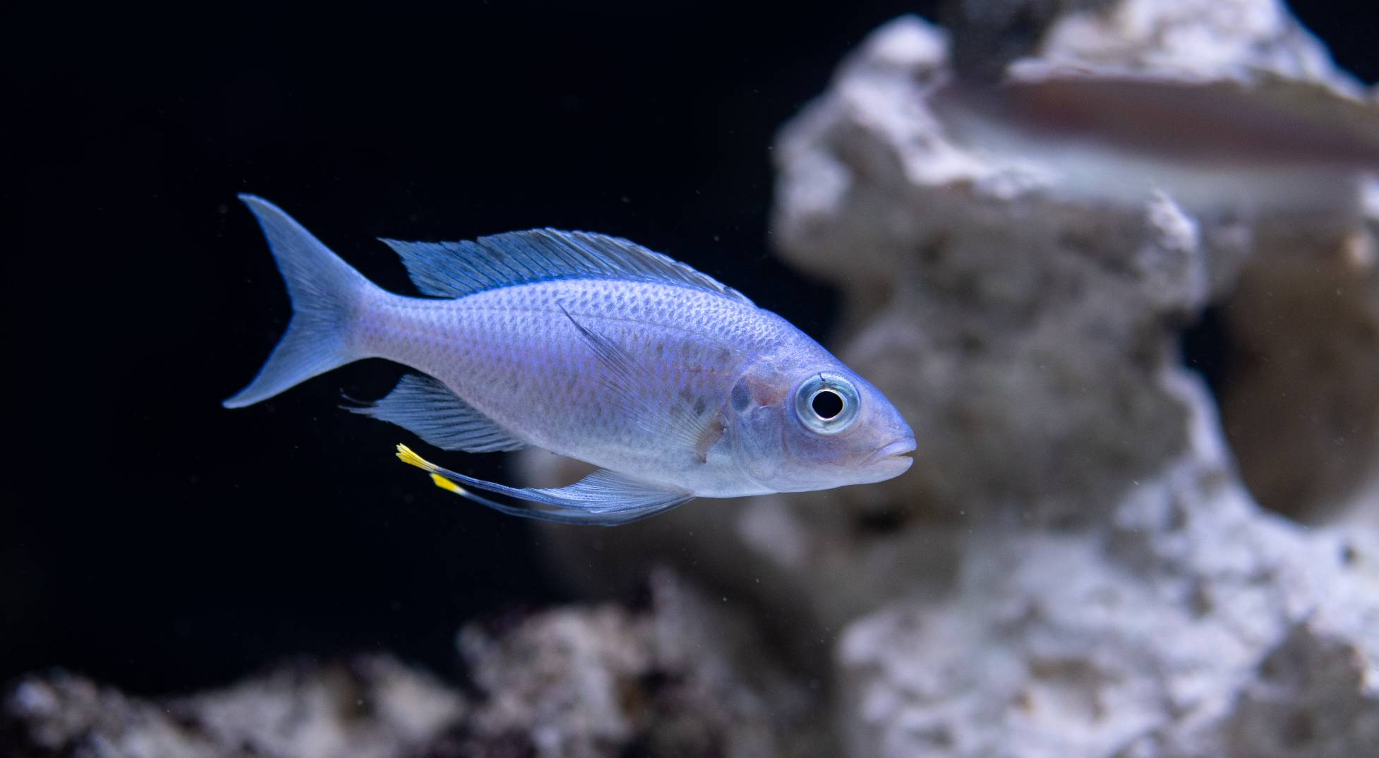 "Ophthalmotilapia ventralis ""bright blue"""
